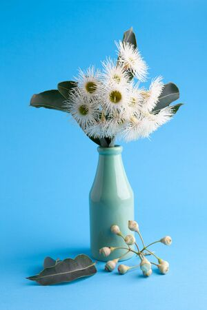 Closeup of white eucalyptus flowers in a vase on blue background