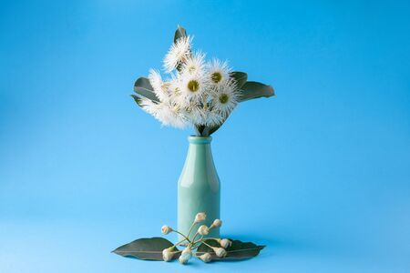 Beautiful blooming eucalyptus flowers with leafs in simple vase on blue background with copy space Stock Photo