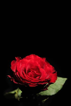 Beautiful red rose glowing in the dark isolated on black background - vertical shot with copy space Banco de Imagens