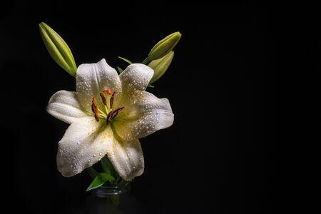 White lily flower with water drops glowing on black background with copy space Banco de Imagens - 146506513