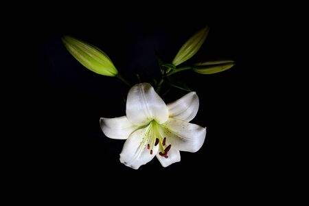 Beautiful white lily isolated on black background