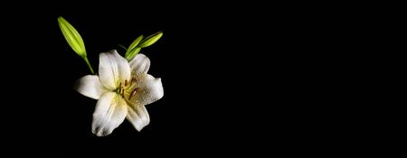 Wet white lily flower isolated on black with dew drops - narrow banner with copy space Banco de Imagens