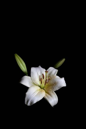 Lily flower with water drops isolated on black background - vertical shot with copy space