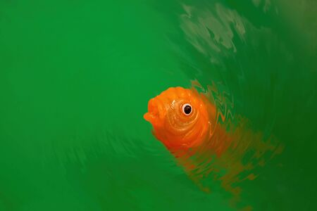 Goldfish toy in vivid green water ripples with copy space Banco de Imagens - 146507168