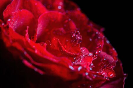 Extreme closeup of water drops on glowing red rose Banco de Imagens - 146507039