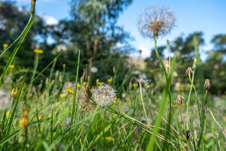 Dandelions in the grass on blurred background Banco de Imagens