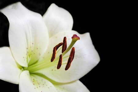 White lily flower extreme closeup on black background