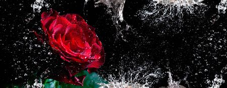 Narrow banner with red rose and dynamic water splashes and drops against black background Banco de Imagens - 146508993