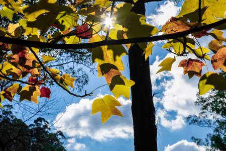 Sun protruding through yellow tree leafs and blue sky with white clouds - autumn scene