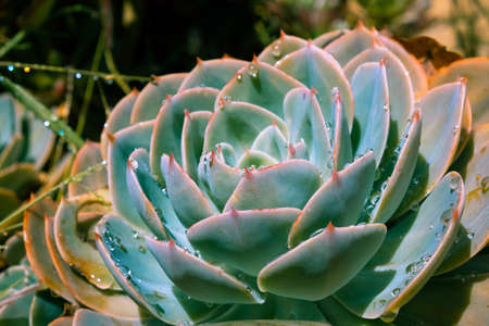 Beautiful succulent plant with dew drops on blurred background