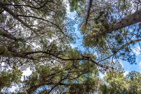Looking up at conifer trees and skies