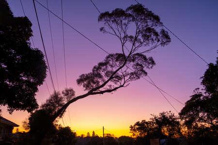Beautiful slanted native Australian tree at sunset - low angle view Stockfoto