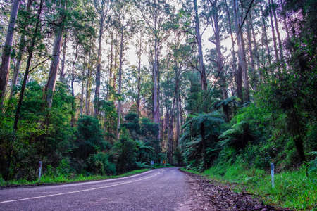 Winding road beneath tall eucalyptus trees and ferns in Australia