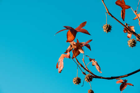 Beautiful orange autumn leafs on branches against clear sky with copy space Stockfoto