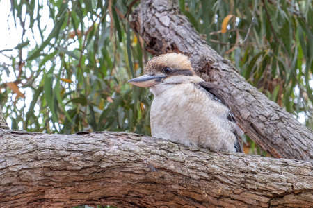 Laughing kookaburra perching on a tree - closeup 写真素材