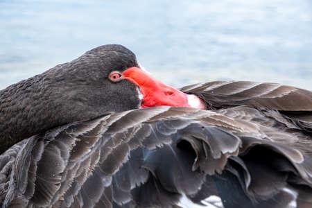Black swan tucking beak into feathers extreme closeup 写真素材