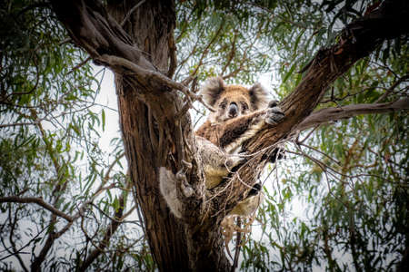 Koala hugging a tree on Raymond Island, Victoria, Australia