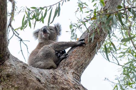 Koala bear on a tree in Australia 写真素材