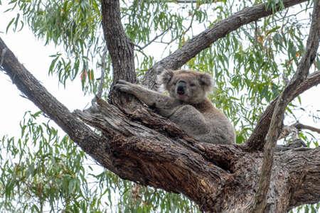 Koala bear portrait in Australia