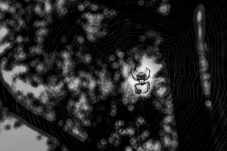 Golden orb-weaving spider in the middle of web in black and white with copy space