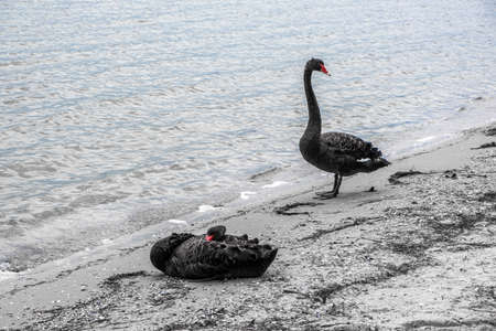 Two black swans resting on seashore