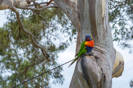 Rainbow lorikeet parrot on eucalyptus tree closeup