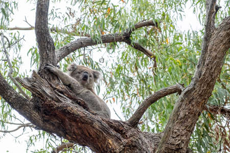 Cute Koala higging a tree on Raymond Island, Australia