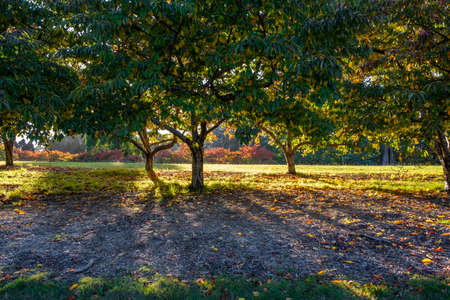 Sunshine through cherry trees in a park with long shadows Stock Photo