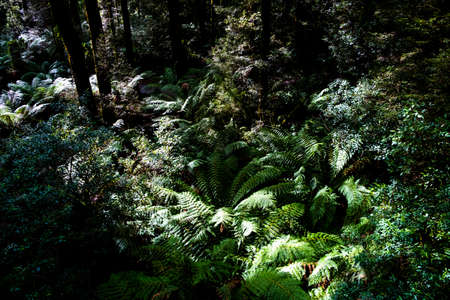 Light and shadow play in Australian temperate rainforest foliage