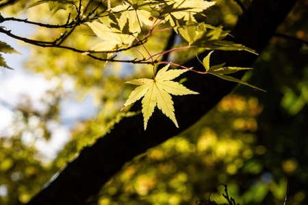 Yellow leaf in bright sunlight on blurred background - autumn theme Stock Photo