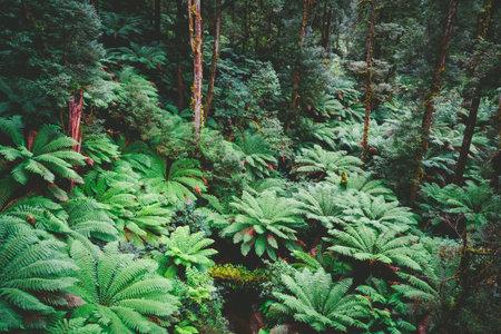 Great Otway National Park forest in Victoria, Australia