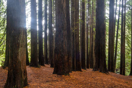 Californian redwood trees in Victoria, Australia