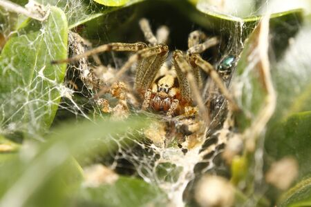 Funnel-web spider macro Agelena labyrinthica