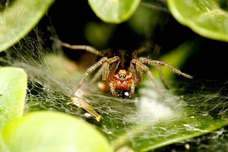 Funnel-web spider close up Zdjęcie Seryjne