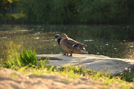 two ducks: Two ducks standing on a stone on a pond. Natural lake. Natural Park. evening sunset. Green stands on the edge of the pond. Water with dirt.