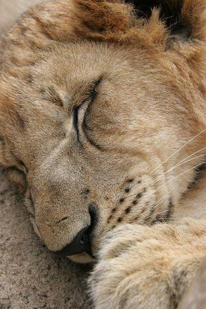 Lion cub sleeping in the sun photo