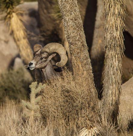 bighorn sheep: Un maturo ram pecora bighorn con ampio, arricciata corna.