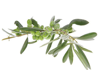 green raw olives on branch over white Stock Photo
