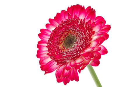 natural red gerbera flower isolated over pure white background Stock Photo - 8753989