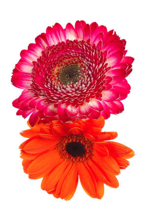 two natural red and orange gerbera flower isolated over pure white background Stock Photo - 8754021