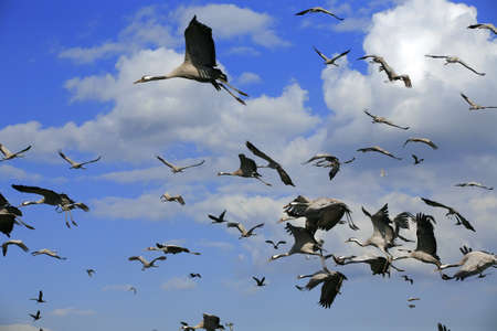 wild birds: the cranes are flying on the background of clouds (latin name: grus grus) wildlife photo