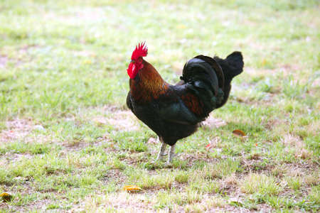 countrylife: rooster  cock on the farm, on green grass background