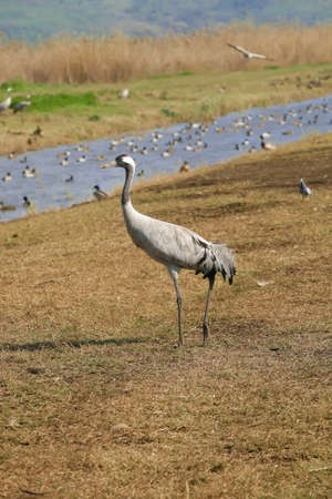 wild birds: common crane (latin: grus grus) life on field Stock Photo - 9696049