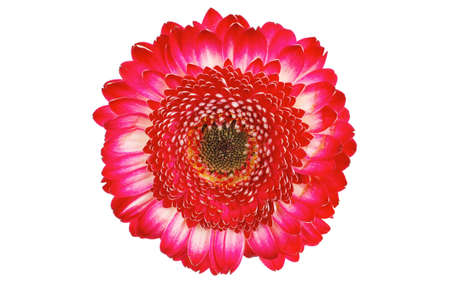 natural red gerbera flower isolated over pure white background Stock Photo - 10162052