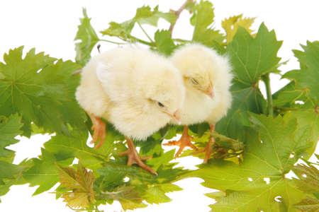 tender live little baby chicken isolated on white background on green leaves photo
