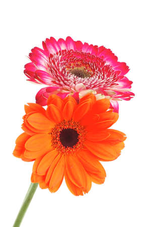 two natural red and orange gerbera flower isolated over pure white background Stock Photo - 10405309