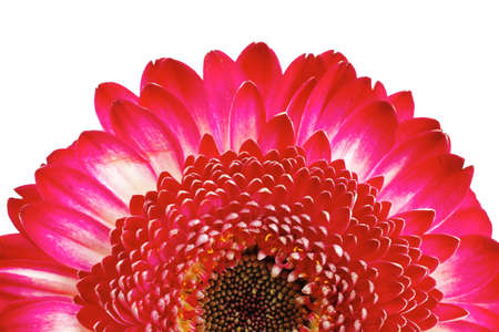 natural red gerbera flower isolated over pure white background Stock Photo - 10433201