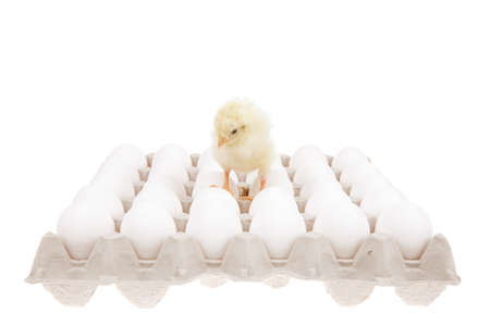 live little chicken animal on white eggs over gray tray isolated on white background photo