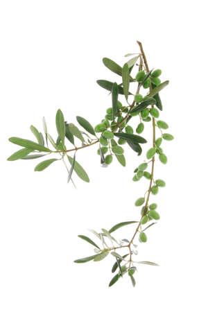 hoja de olivo: aceitunas verdes sin procesar en rama sobre blanco