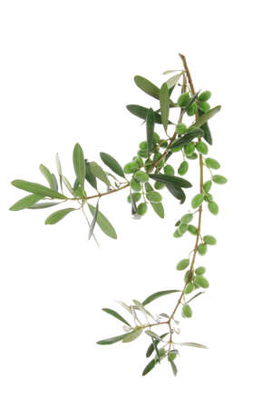 green raw olives on branch over white 版權商用圖片